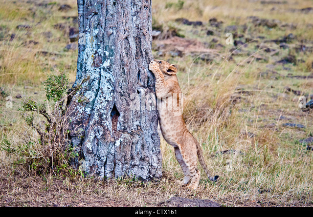 African Lion Cub, Panthera leo, trying to climb a tree, Masai Mara National Reserve, Kenya - Stock Image