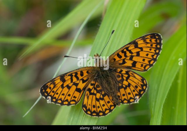 Small Bordered Frittilary - Stock Image