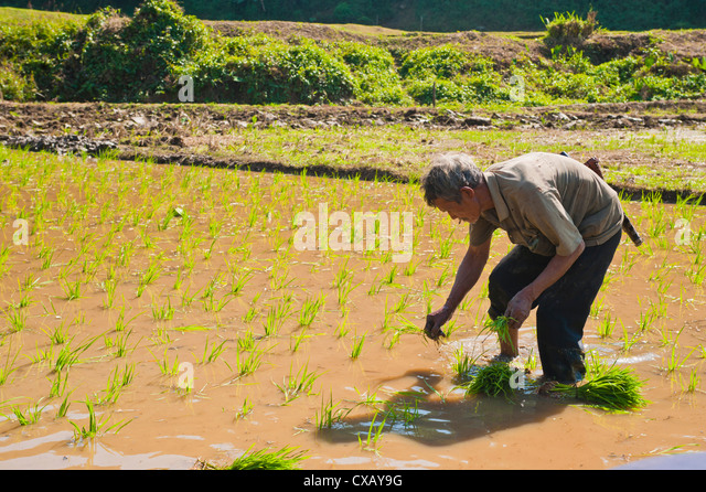 Rice paddy field worker from the Lahu tribe planting rice in rice paddies near Chiang Rai, Thailand, Southeast Asia, - Stock Image