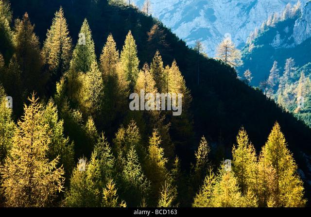 LARCH TREES in autumn. Visic Pass. Triglav National Park. Julian Alps. Slovenia - Stock Image