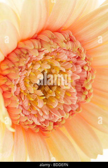 close up of peach gerbera flower - Stock Image