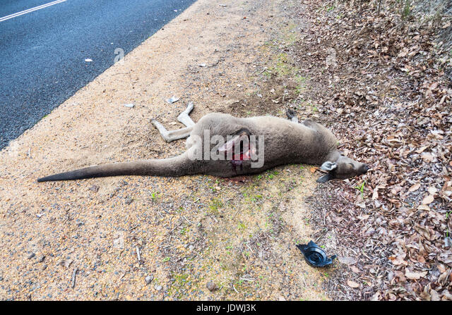 Road kill, a dead kangaroo hit by a motor vehicle on the side of a country road. - Stock Image