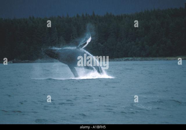 Alaska alaskan humpback whale breaching - Stock Image