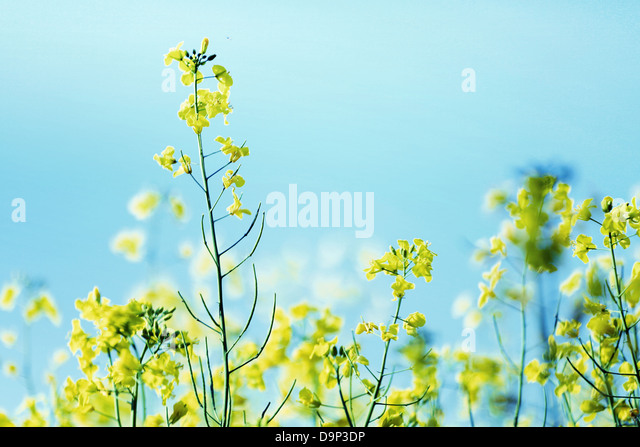 Photo presenting field of yellow canola - Stock Image
