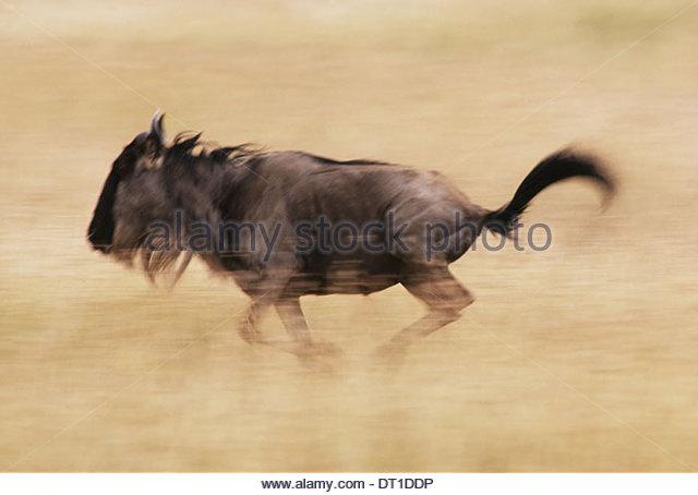 Masai Mara Reserve Kenya Blue wildebeest runs Connochaetes taurinus Kenya - Stock Image