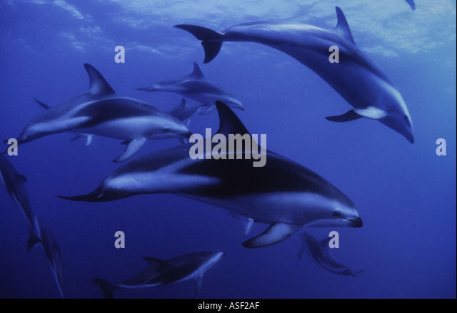 Dusky dolphins Lagenorhynchus obscurus group swimming in clear oceanic water South Island New Zealand - Stock Image