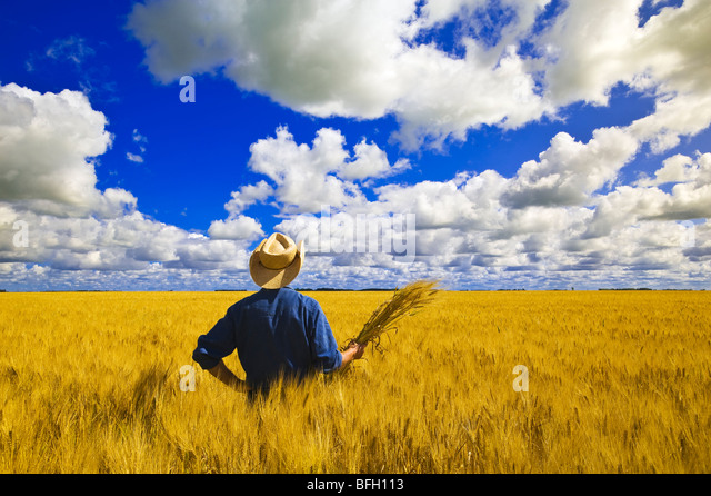 a man looks out over a field of maturing spring wheat with cumulus clouds in the background, near Dugald, Manitoba, - Stock Image