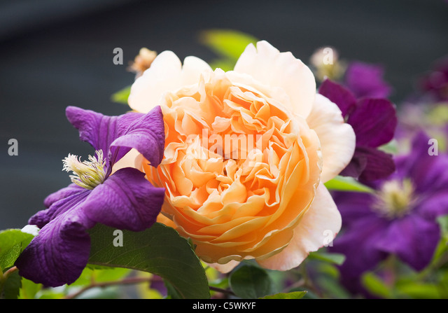 Rosa 'Crown Princess Margareta' with Clematis viticella 'Etoile Violette'. - Stock Image