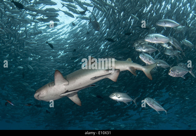 Whitetip reef shark surrounded by Big-eye Trevally (Triaenodon obesus), (Caranx sexfasciatus) - Stock-Bilder