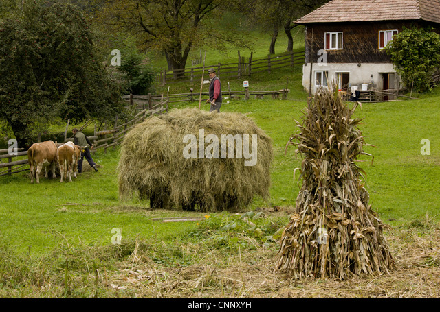 Old-fashioned traditional farming hay cart maize stooks cattle near Garda de Sus Apuseni Mountains Transylvania - Stock Image
