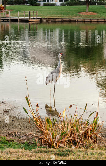 A sand hill crane, antigone canadensis, wading in the shallows of a small lake in Florida, looking for food.  Lutz, - Stock Image