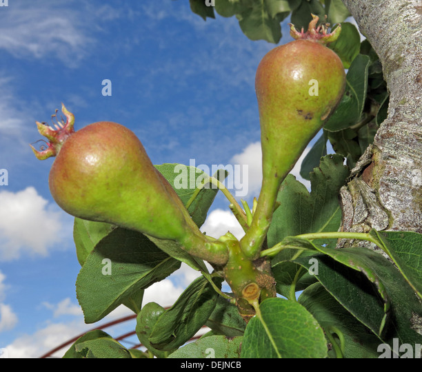 New summer pears growing on a mature tree at Barrington Ct near Ilminster, Somerset, England UK  TA19 0NQ in an - Stock Image