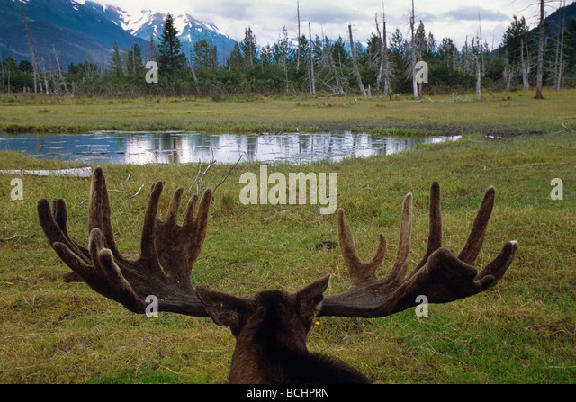 Bull moose looking across pond and landscape at the Alaska Wildlife Conservation Center, Southcentral Alaska CAPTIVE - Stock Image