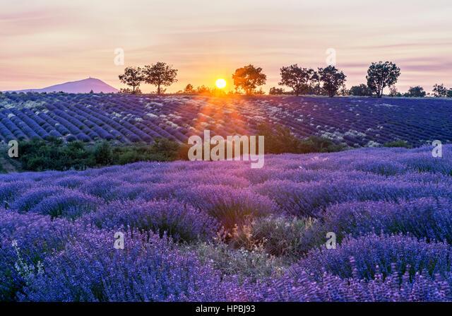 Lavender field , near Banon, sunset, Vaucluse, Alpes-de-Haute-Provence, landscape, Mont Venteaux,  Provence, France - Stock Image