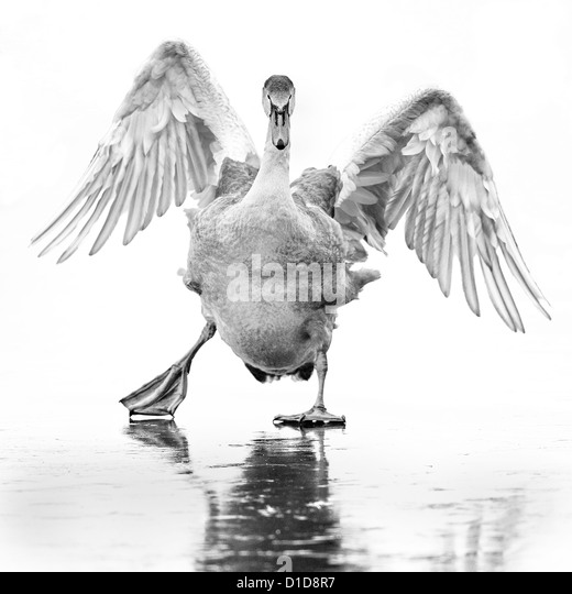A young mute swan (cygnus olor) slips about on a frozen lake in the Lee valley, England. Monochrome image. - Stock Image