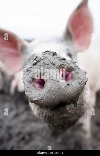 A snout, close-up, Sweden. - Stock-Bilder