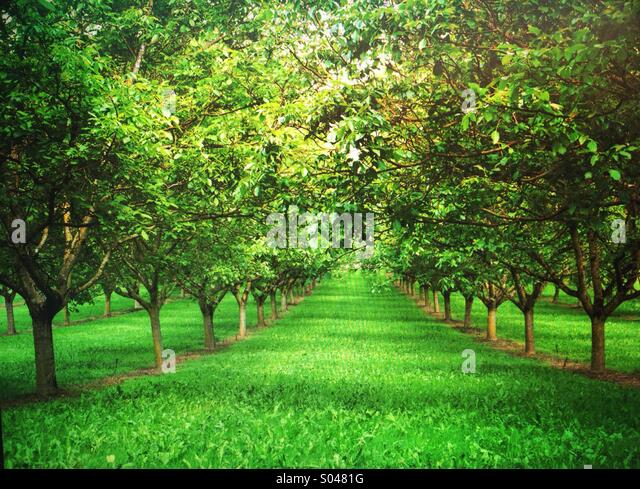 Rows of trees in walnut grove in spring, near Domme, Dordogne, Aquitaine, France - Stock Image