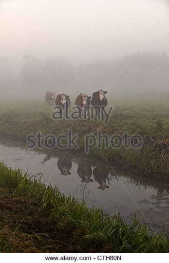 The Netherlands, Tienhoven, Cows in morning mist in polder. - Stock Image