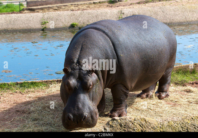 Hippopotamus - Stock-Bilder