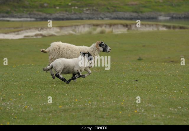 Sheep (Latin name - Ovis aries) and lamb running, Scotland. - Stock Image
