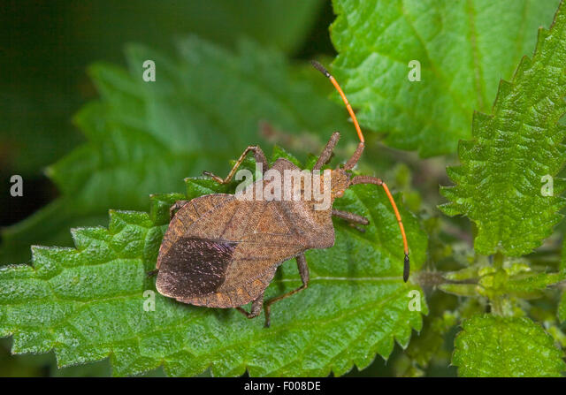 Squash bug (Coreus marginatus, Mesocerus marginatus), sitting on a leaf, Germany - Stock Image