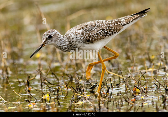 Lesser Yellowlegs - Camp Lula Sams - Brownsville, Texas USA - Stock Image