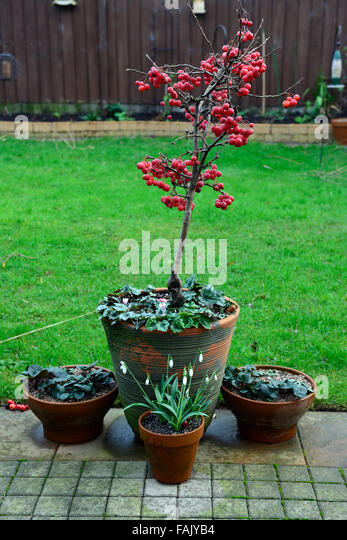 Red sentinel stock photos red sentinel stock images alamy for Apple tree decoration