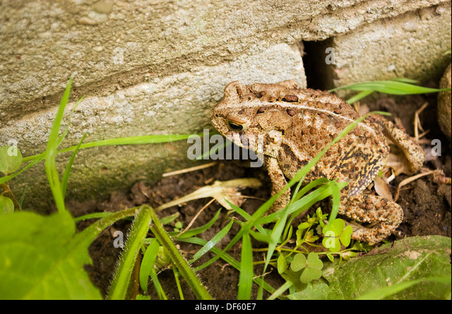 Toad hiding by cement block wall in weeds - Stock Image