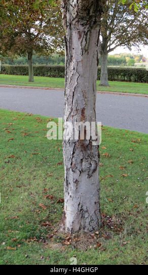 HORSE CHESTNUT  (Aesculus hippocastanum) showing the bleeding canker disease. Photo Tony Gale - Stock Image