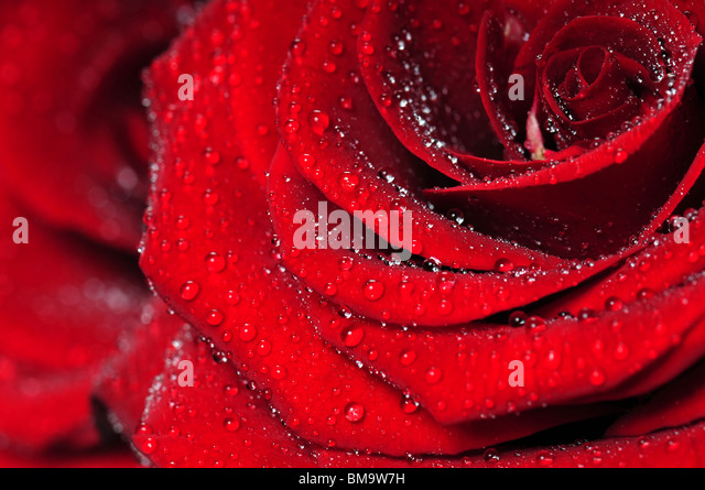 Red rose macro view with water droplets. Extreme close-up with shallow dof - Stock Image