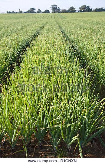 Crop of onions in rows growing a in field, Alderton, near Woodbridge, Suffolk, England, United Kingdom, Europe - Stock Image