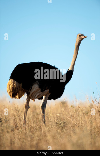 Ostrich (Struthio camelus), Ithala Game Reserve, South Africa - Stock Image