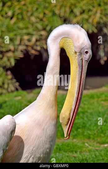 Profile portrait of white pelican (Pelecanus onocrotalus) - Stock Image