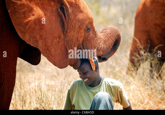 A WILD ORPHAN AFFECTIONATELY GREETS JOSEPH SAUNI FROM THE SHELDRICK FOUNDATION. - Stock Image