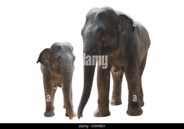 two wild elephant - Stock Image