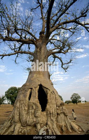 Senegal, a sacred baobab - Stock Image
