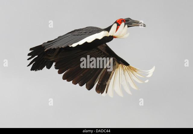 southern ground hornbill, ground hornbill (Bucorvus leadbeateri, Bucorvus cafer), flying, Kenya - Stock Image