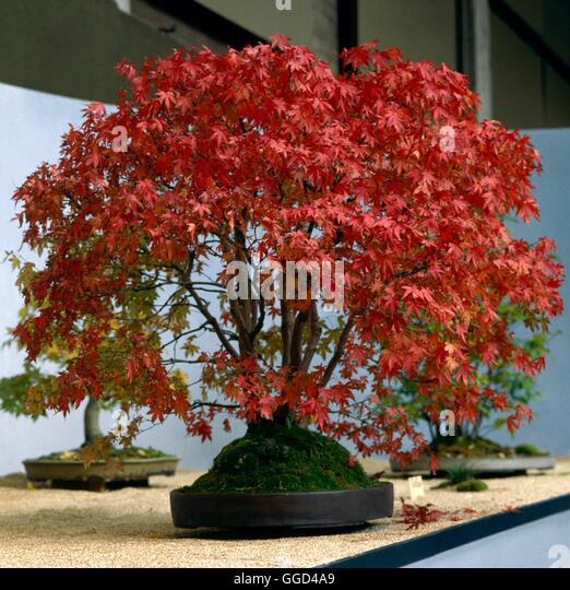 Acer bonsai stock photos acer bonsai stock images alamy - Arce rubrum bonsai ...
