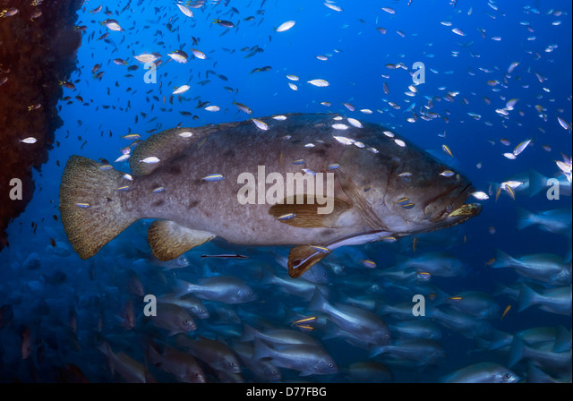 Giant Grouper Epinephelus lanceolatus surrounded by Reef Fish at the SS Yongala Shipwreck on the Great Barrier Reef, - Stock Image