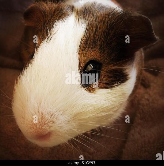 Guinea pig closeup - Stock Image