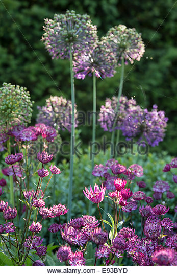 Astrantia and Alliums in purple and pink themed border - Stock Image
