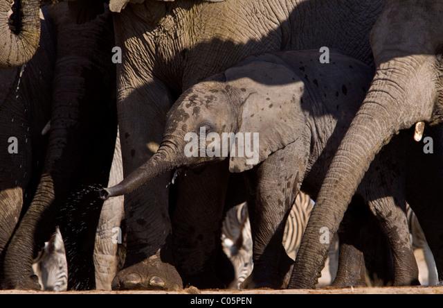 Baby Elephant drinking, Etosha National Park, Namibia. - Stock Image