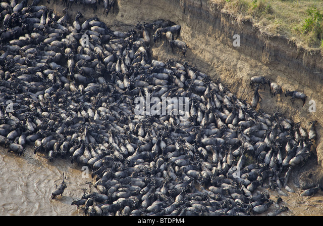 Aerial view of Blue Wildebeest (Connochaetes taurinus) crossing the Mara River - Stock Image