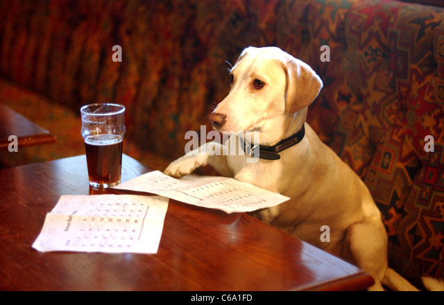 Bertie the Bassett Labrador carefully chooses the Lottery Bonus Ball number for this week at the Royal Coach pub - Stock Image
