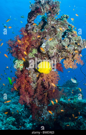 Golden butterflyfish with soft corals on reef.  Egypt, Red Sea. - Stock Image