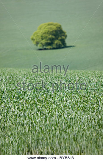 Tree growing in green field of early wheat - Stock Image