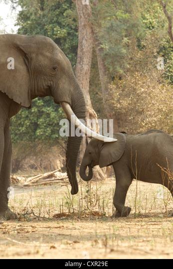 Adult male African Elephant with trunks over calf, Mana Pools, Zimbabwe - Stock Image