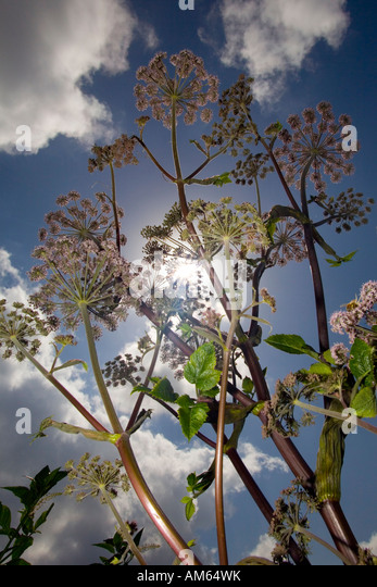 In Summer, an Angelica (Angelica sp) wild plant (France). Pied d'Angélique sauvage (Angelica sp) en Eté - Stock Image
