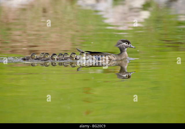 Wood duck (Aix sponsa) hen and ducklings swimming, Arapahoe County, Colorado, United States of America, North America - Stock Image