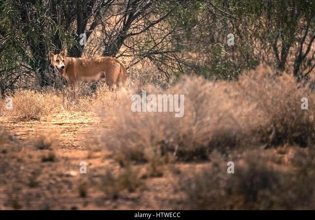 Dingo (Canis lupus dingo) - Stock Image